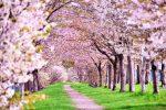 【格安SIMで快適スマホライフ】スマホ撮影術⑧インスタ映え!美しい桜のシーンを撮影する方法
